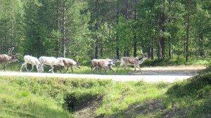 Encore quelques rennes mais nous en voyons beaucoup moins que dans le nord de la Norvège